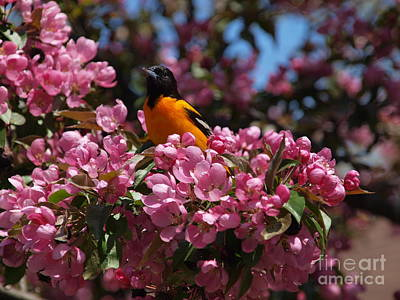 Photograph - Baltimore Oriole by Susan Dimitrakopoulos