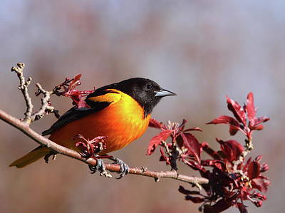 Photograph - Baltimore Oriole Vi by Bruce J Robinson