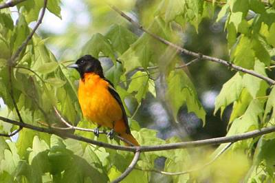 Baltimore Orioles  Print by Nancy TeWinkel Lauren