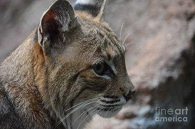 Photograph - Bama Bobcat by Maria Urso