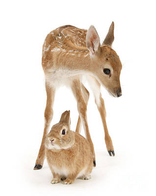 Photograph - Bambi And Thumper by Warren Photographic