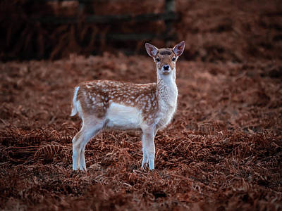 Photograph - Bambi In The Bracken by Nick Bywater