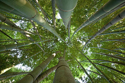 Bamboo Forest Art Print by Tom Clabough