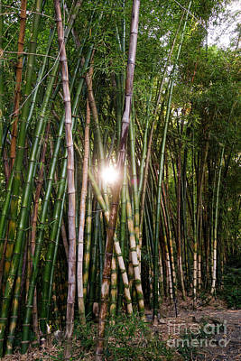 Photograph - Bamboo Growing In Garden, Sunlight Coming Through by Perry Van Munster