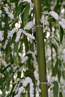 Photograph - Bamboo In Snow by Dana Sohr