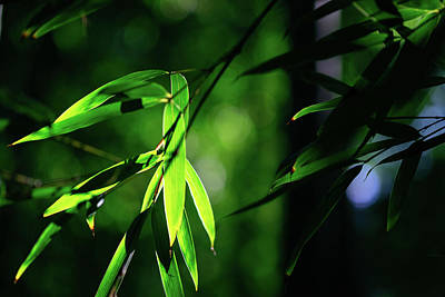 Photograph - Bamboo Leaves In The Light by Roy Cruz