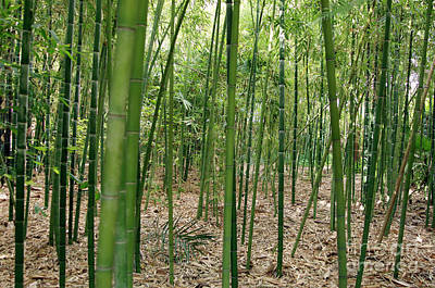 Bamboo (phyllostachys Sp.) Print by Johnny Greig