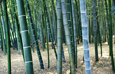 Bamboo Tree Forest, Close Up Art Print by Axiom Photographic
