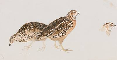 Selby Painting - Bamburgh Common Quail by Prideaux John Selby