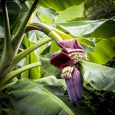Photograph - Banana Beginnings Square by Kerri Ligatich