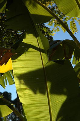 Photograph - Banana Leaf by Kathi Shotwell