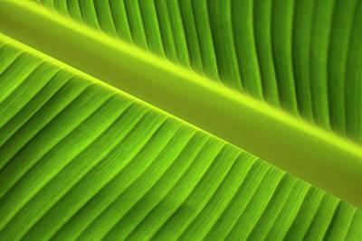 Photograph - Banana Leaf by Robert Och