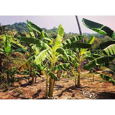 Banana Photograph - Banana Plantations  #banana by Dreamcatcher Images