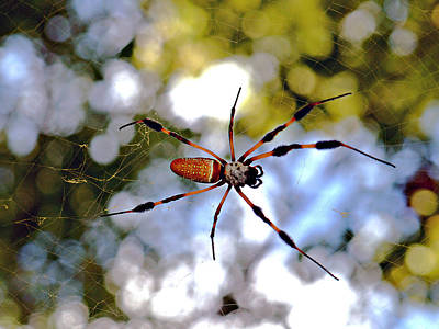 Banana Spider   1 Art Print