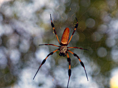 Banana Spider 2 Art Print