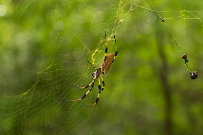 Photograph - Banana Spider by Christopher L Thomley