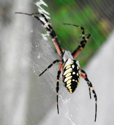 Photograph - Banana Spider In His Web by Belinda Lee