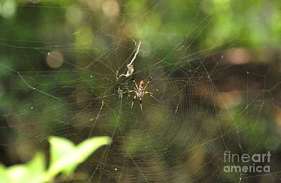 Photograph - Banana Spider In Web by John Black