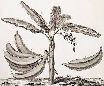Banana Drawing - Banana Tree by Denis Diderot