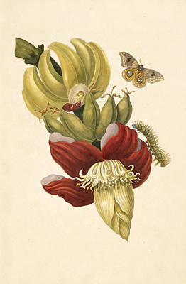 Painting - Banana Tree Flower by Celestial Images