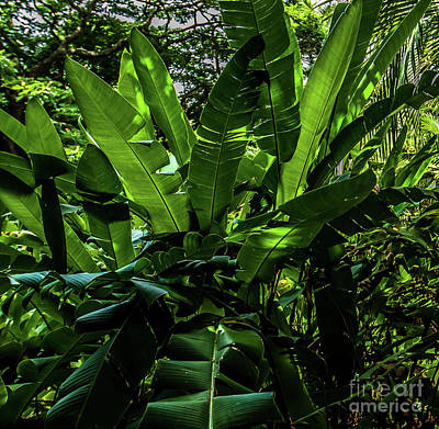 Photograph - Banana Tree Kauai South Shore by Blake Webster