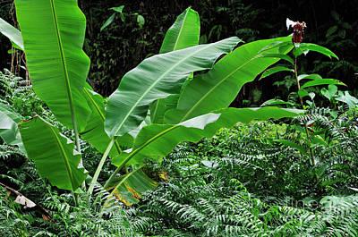 Banana Tree Leaves In Tropical Garden Art Print