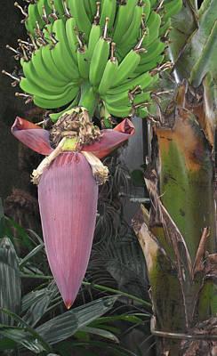 Banana Tree Pod Print by Candace Shockley
