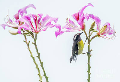 Photograph - Bananaquit Floral by Cheryl Baxter
