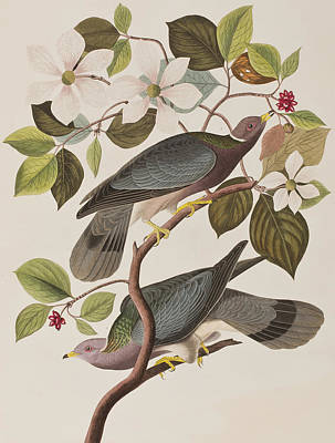 Pigeon Painting - Band-tailed Pigeon  by John James Audubon