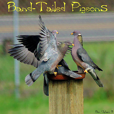 Photograph - Band-tailed Pigeons #1 With Text by Ben Upham III