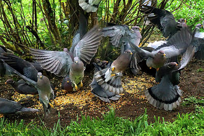 Photograph - Band-tailed Pigeons #15 Enhanced Photo Art by Ben Upham III