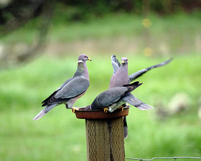 Photograph - Band-tailed Pigeons #6 by Ben Upham III