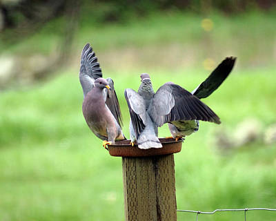 Photograph - Band-tailed Pigeons #8 by Ben Upham III