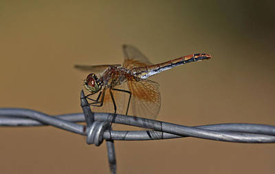 Barbwire Wall Art - Photograph - Band-winged Meadowhawk by Gary Wing
