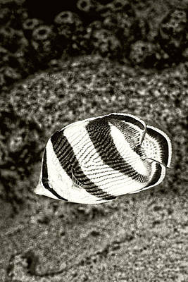 Photograph - Banded Butterflyfish by Perla Copernik