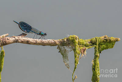 Photograph - Banded Demoiselle - Calopteryx Splendens by Jivko Nakev