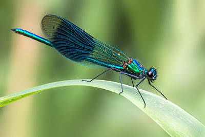 Macro Dragonfly Photograph - Banded Demoiselle by Ian Hufton