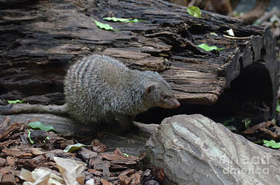 Photograph - Banded Mongoose With Striping On His Back by DejaVu Designs