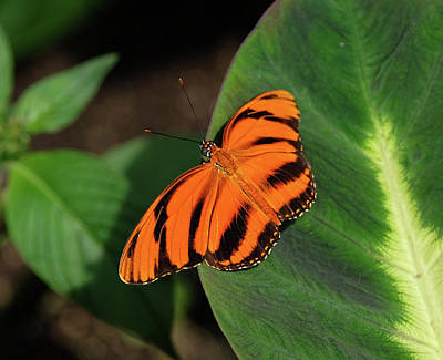 Photograph - Banded Orange Butterfly On Leaf by Ronda Ryan