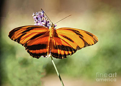 Banded Orange Heliconian Butterfly  Art Print