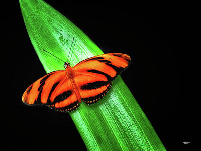 Banded Orange Longwing Art Print