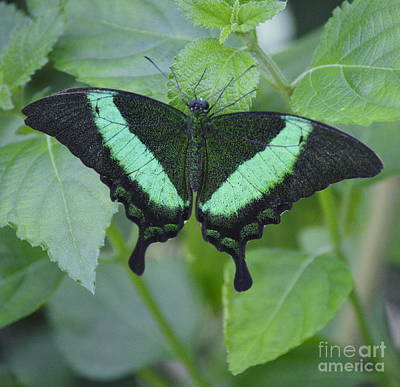 Blue Swallowtail Photograph - Banded Peacock Butterfly II by Marilyn Smith