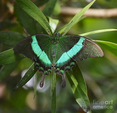 Blue Swallowtail Photograph - Banded Peacock Butterfly by Marilyn Smith