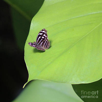 Photograph - Banded Purplewing Butterfly On Leaf Sqaure by Karen Adams