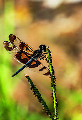 Photograph - Banded Wings by Ken Frischkorn