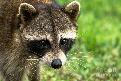 Photograph - Bandit Face by Rene Triay Photography