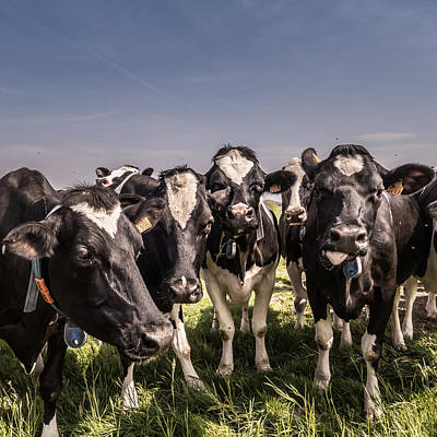 Cow Humorous Photograph - Bandits by Wim Lanclus