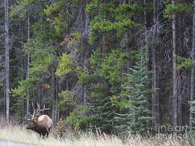 Photograph - Banf Elk Woodland by Andrea Hazel Ihlefeld