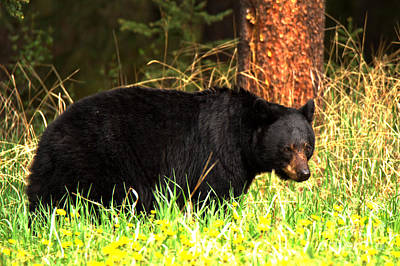 Photograph - Banff Bow Valley Black Bear by Adam Jewell