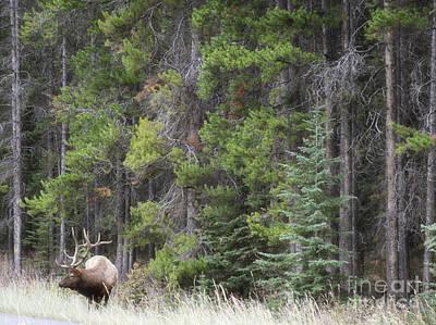 Photograph - Banff Canada Elk Woodland Landscape by Andrea Hazel Ihlefeld